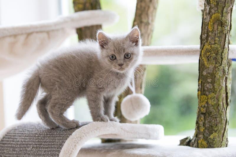 βρετανικό γατάκι shorthair στοκ φωτογραφίες με δικαίωμα ελεύθερης χρήσης