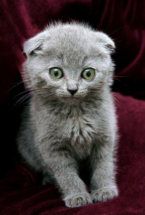 βρετανικό γκρίζο γατάκι στοκ εικόνες