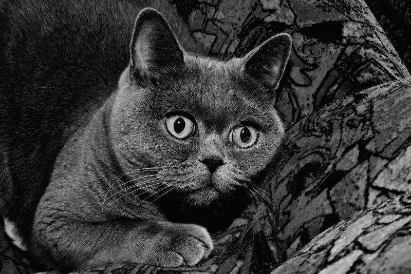 βρετανικό γκρι γατών στοκ εικόνες με δικαίωμα ελεύθερης χρήσης