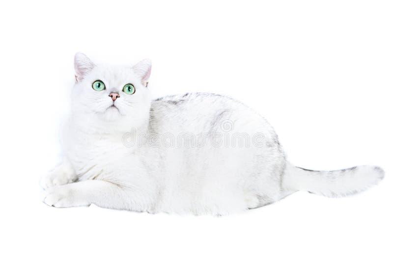 βρετανικό λευκό γατών στοκ εικόνα