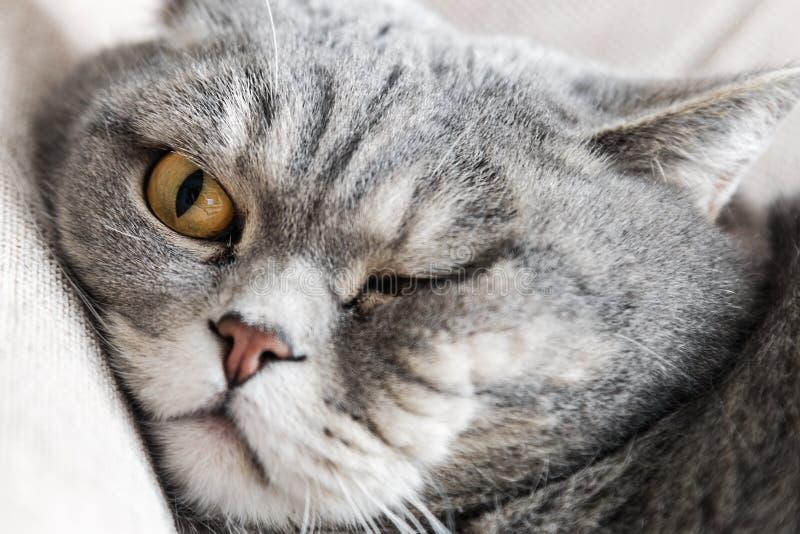 Βρετανικό παχύ γατών στον καναπέ κοιμισμένο στοκ φωτογραφίες