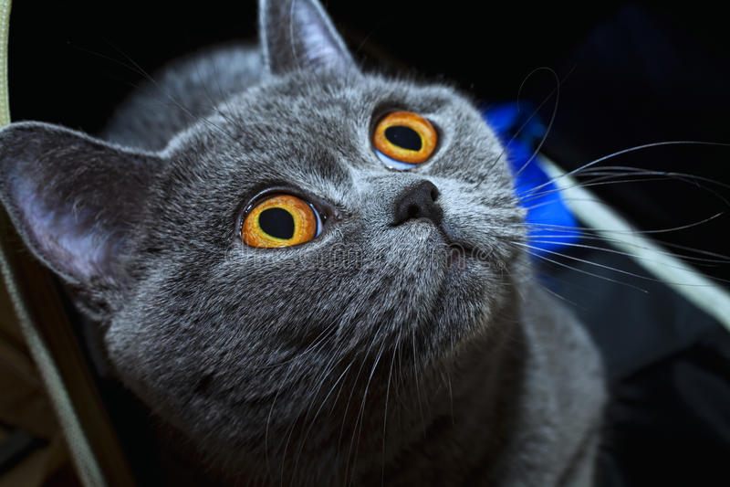 βρετανικό στενό γκρι γατών επάνω στοκ εικόνες