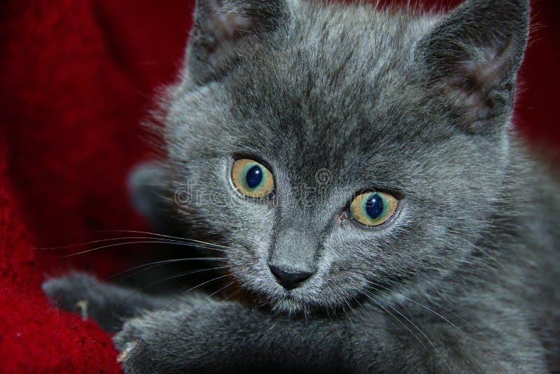 Βρετανικό shorthair γατακιών στοκ φωτογραφίες με δικαίωμα ελεύθερης χρήσης