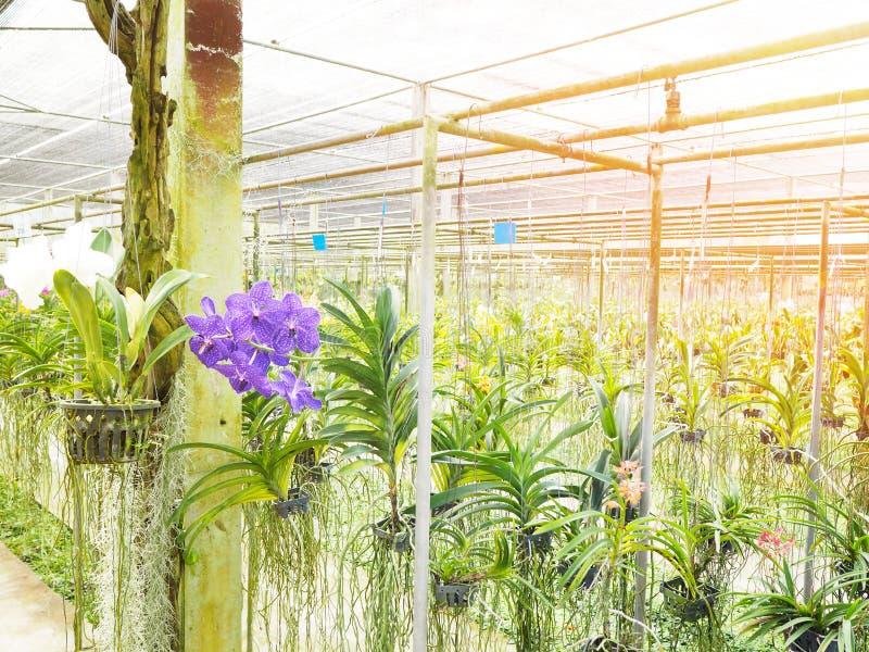 Βρεφικός σταθμός λουλουδιών ορχιδεών στο αγρόκτημα στην Ταϊλάνδη στοκ εικόνα με δικαίωμα ελεύθερης χρήσης