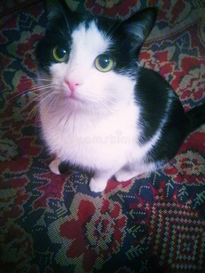 Βροντή γατών με τα πράσινα μάτια και το γραπτό μαλλί στοκ φωτογραφίες με δικαίωμα ελεύθερης χρήσης