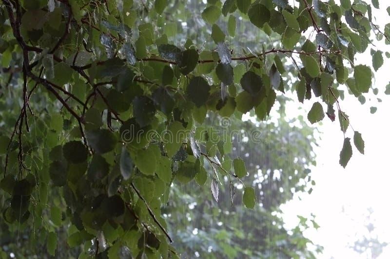 βροχή σημύδων στοκ εικόνες