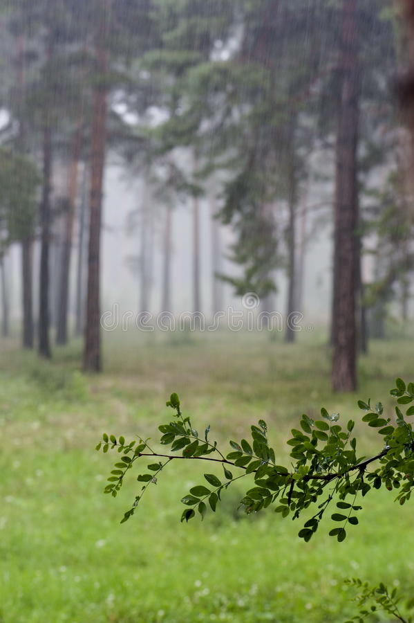 Βροχή στο δάσος στοκ φωτογραφία με δικαίωμα ελεύθερης χρήσης