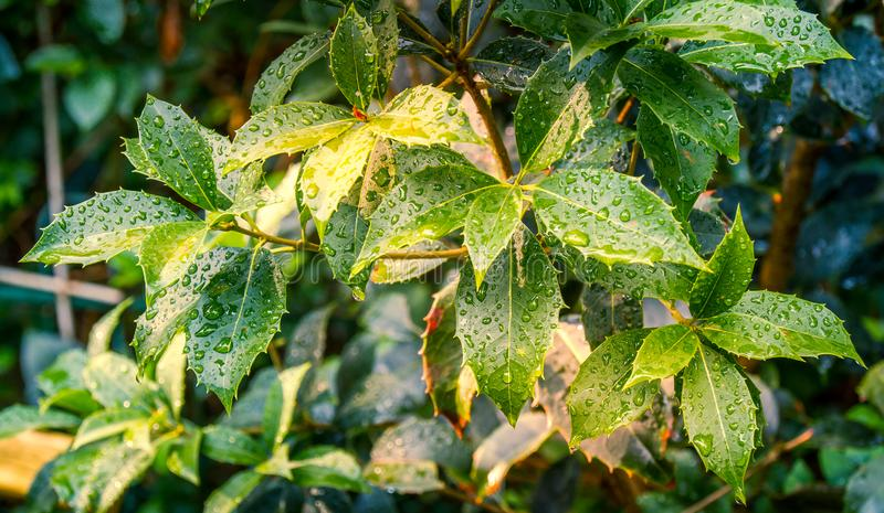 Βροχερή κατάσταση - οι πτώσεις βροχής εγκαθιστούν στα φύλλα ενός θάμνου κήπων στοκ φωτογραφία