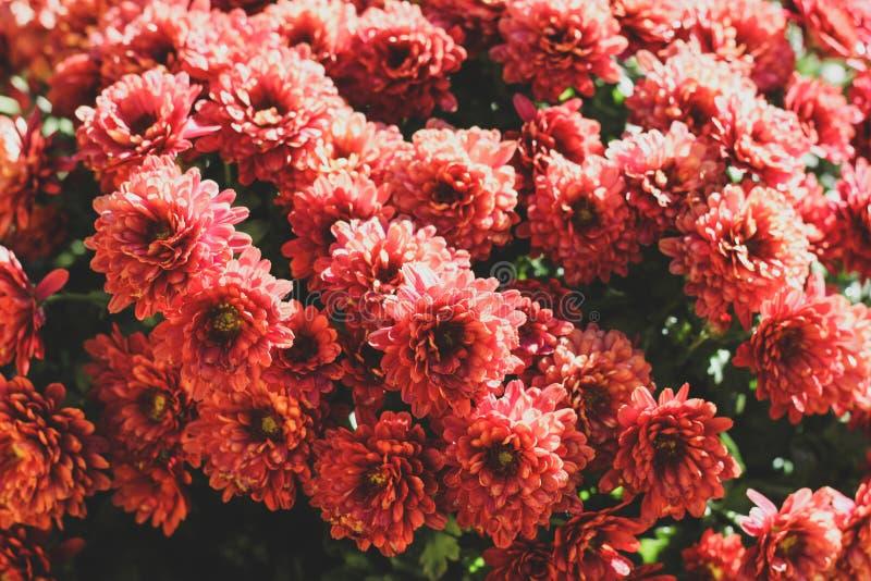 Βρωμίστε των ρόδινων σκληραγωγημένων λουλουδιών chrysanth στοκ φωτογραφίες