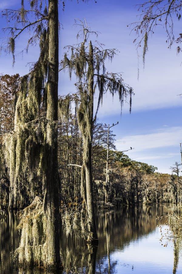 Βρύο δέντρων ελών στοκ εικόνες με δικαίωμα ελεύθερης χρήσης