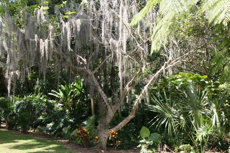 Βρύο δέντρων που ταλαντεύει από το δέντρο στοκ φωτογραφίες με δικαίωμα ελεύθερης χρήσης