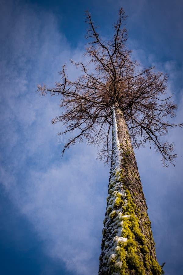 Βρύο και χιονισμένος κορμός δέντρων που δείχνουν τον ουρανό στοκ εικόνες με δικαίωμα ελεύθερης χρήσης
