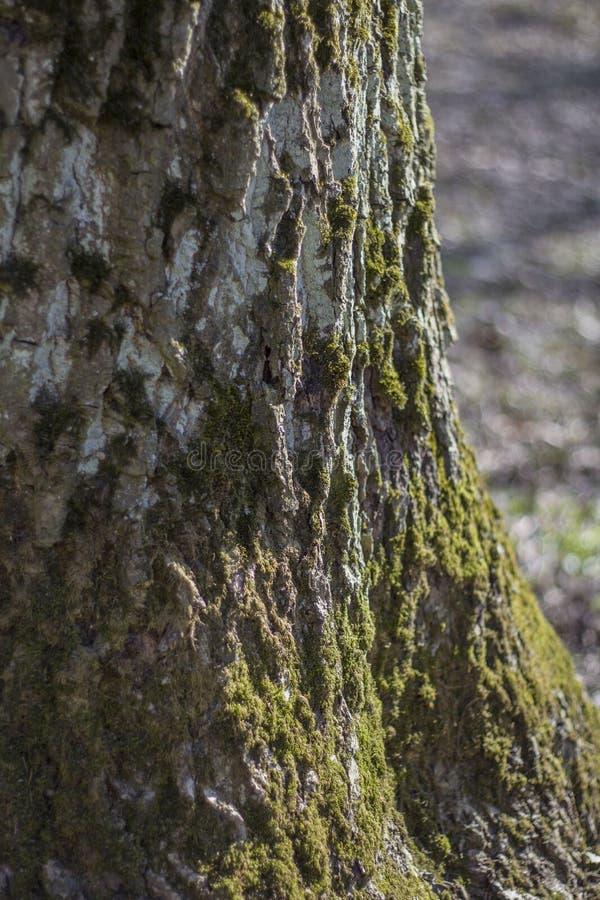 Βρύο-καλυμμένος φλοιός ενός παλαιού δέντρου σε ένα θολωμένο υπόβαθρο χλόης στο δάσος στοκ εικόνες με δικαίωμα ελεύθερης χρήσης