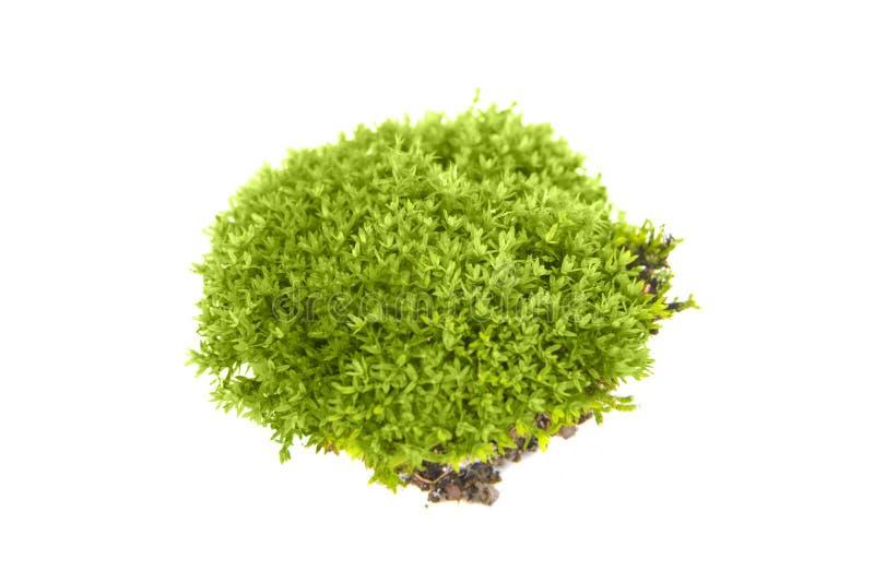 Βρύο που απομονώνεται πράσινο στοκ φωτογραφία με δικαίωμα ελεύθερης χρήσης