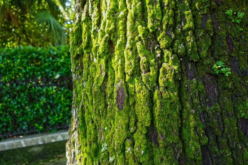 Βρύο σε ένα ζωντανό δρύινο δέντρο στοκ φωτογραφίες με δικαίωμα ελεύθερης χρήσης