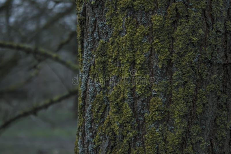 Βρύο σε μια κινηματογράφηση σε πρώτο πλάνο κορμών δέντρων στοκ φωτογραφίες