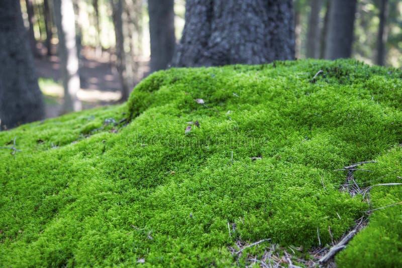 Βρύο στο δάσος στοκ φωτογραφίες με δικαίωμα ελεύθερης χρήσης