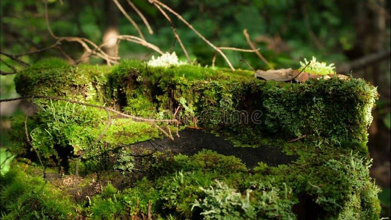 Βρύο στο κολόβωμα στη δασική παλαιά ξυλεία με το βρύο στο δασικό κολοβωμάτων πράσινο δάσος κωνοφόρων δέντρων πεύκων βρύου κομψό στοκ φωτογραφίες