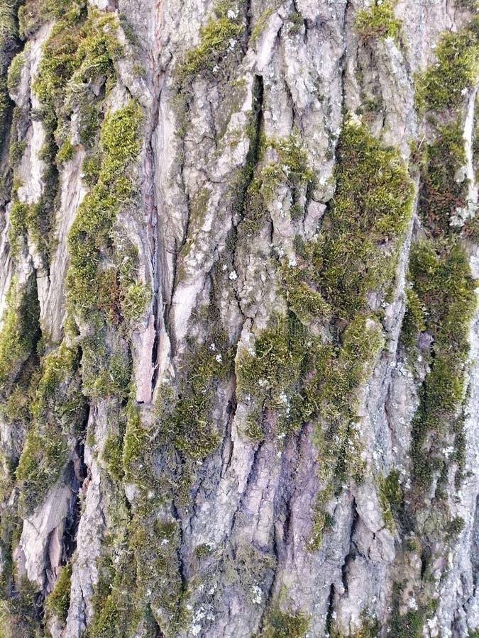 Βρύο στο φλοιό ενός δέντρου στοκ εικόνες