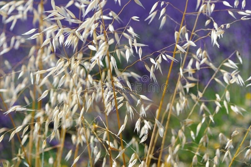 βρώμη στοκ φωτογραφία με δικαίωμα ελεύθερης χρήσης