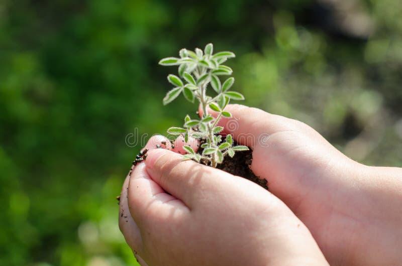 Βρώμικα χέρια αγοριών που κρατούν τις μικρές νέες βοτανικές εγκαταστάσεις νεαρών βλαστών στοκ εικόνα