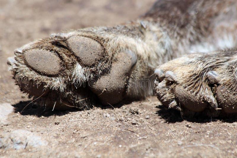 βρώμικος λύκος ποδιών στοκ εικόνα