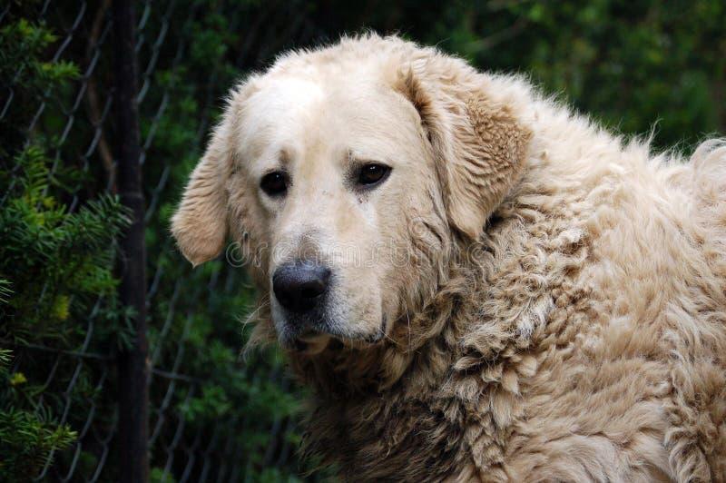 βρώμικο πορτρέτο σκυλιών kuvasz στοκ εικόνες με δικαίωμα ελεύθερης χρήσης