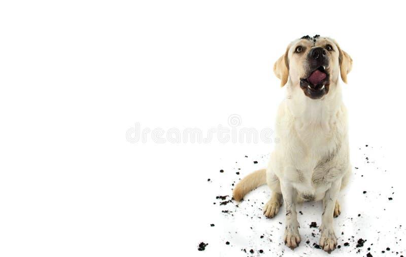 βρώμικο σκυλί ΑΣΤΕΙΟ ΛΑΣΠΩΔΕΣ RETRIEVER ΤΟΥ ΛΑΜΠΡΑΝΤΟΡ ΠΟΥ ΚΑΝΕΙ ΈΝΑ ΠΡΟΣΩΠΟ ΜΕΤΑ ΑΠΌ ΤΗ PL στοκ φωτογραφίες