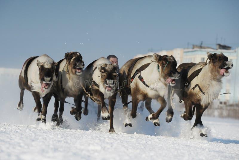 Βόρεια aboriginals Ολυμπιακών Αγώνων Ρωσία Yamal Nadym στοκ εικόνες με δικαίωμα ελεύθερης χρήσης