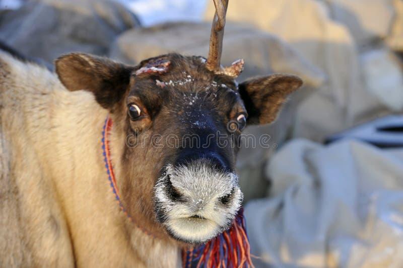 Βόρεια aboriginals Ρωσία Yamal Nadym στοκ φωτογραφία με δικαίωμα ελεύθερης χρήσης
