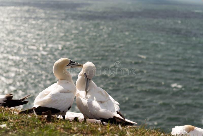 Βόρεια gannets, Helgoland, Γερμανία στοκ εικόνες