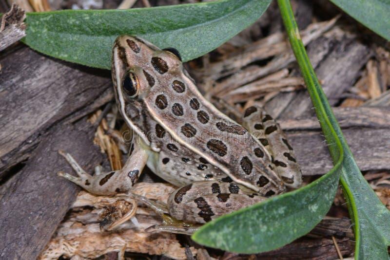 Βόρειος βάτραχος λεοπαρδάλεων στοκ εικόνα με δικαίωμα ελεύθερης χρήσης