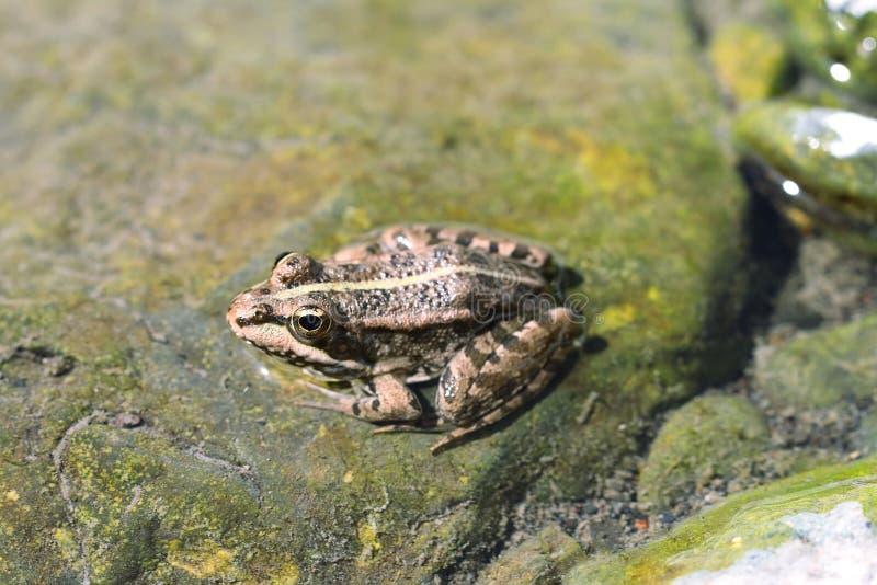 Βόρειος βάτραχος λεοπαρδάλεων (Lithobates pipiens) στοκ εικόνες