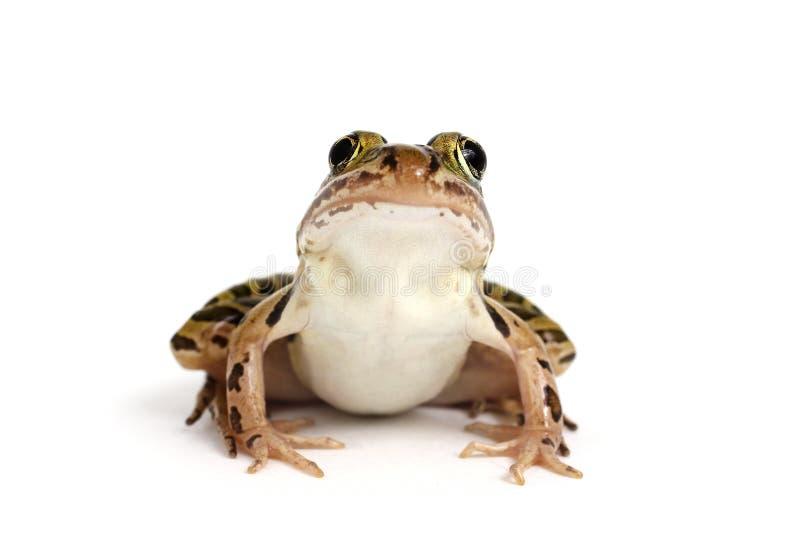 Βόρειος βάτραχος λεοπαρδάλεων (Lithobates pipiens) στοκ φωτογραφία με δικαίωμα ελεύθερης χρήσης