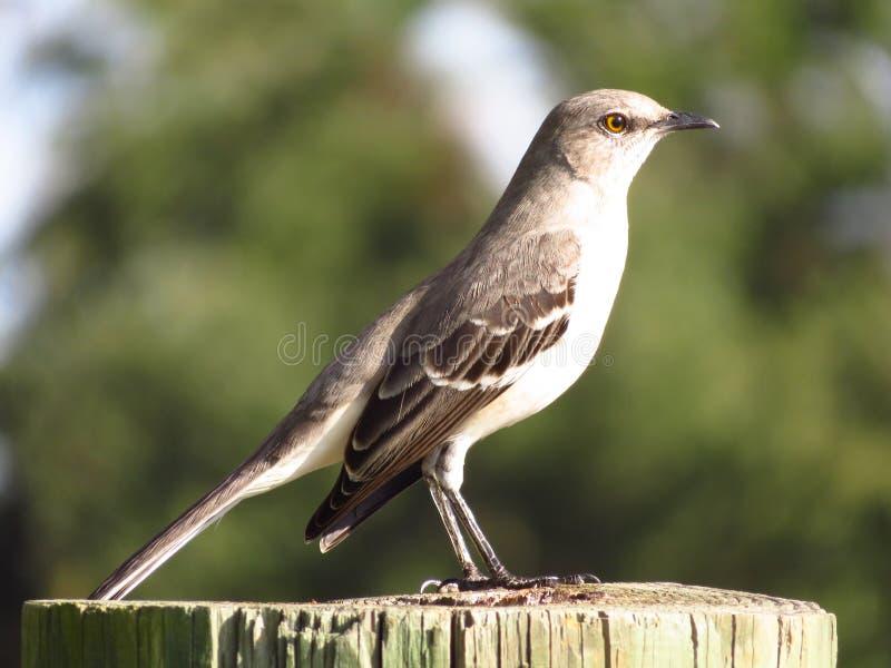 Βόρειο πουλί χλευασμού που στηρίζεται στο κούτσουρο στοκ φωτογραφίες