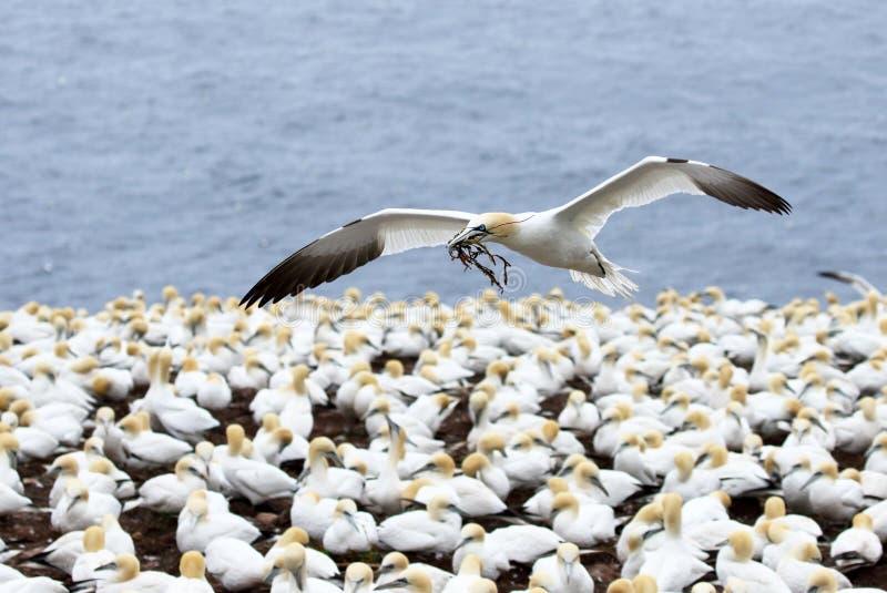 Βόρειο Gannet κατά την πτήση με να τοποθετηθεί τα υλικά στο ράμφος, που πετά πέρα από την αποικία Κεμπέκ θαλασσοπουλιών στοκ φωτογραφίες