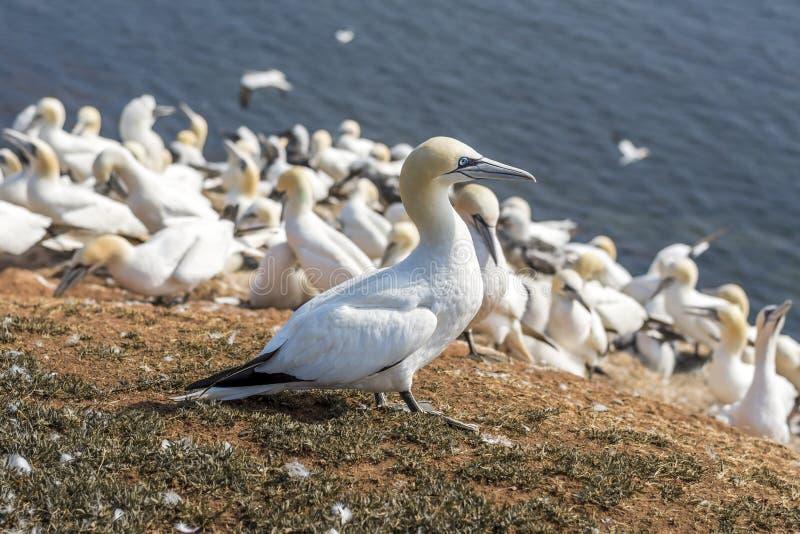 Βόρειο Gannet στα νησιά Helgoland στοκ εικόνες