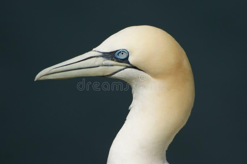 Βόρειο gannet στοκ εικόνες με δικαίωμα ελεύθερης χρήσης