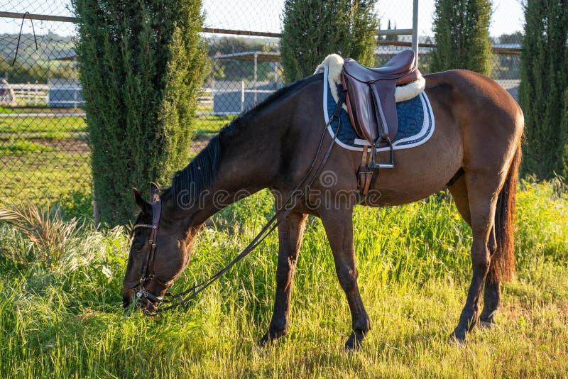 Βόσκει καφέ άλογο αγώνων που χαλαρώνει μεταξύ των διαδρομών στοκ φωτογραφία