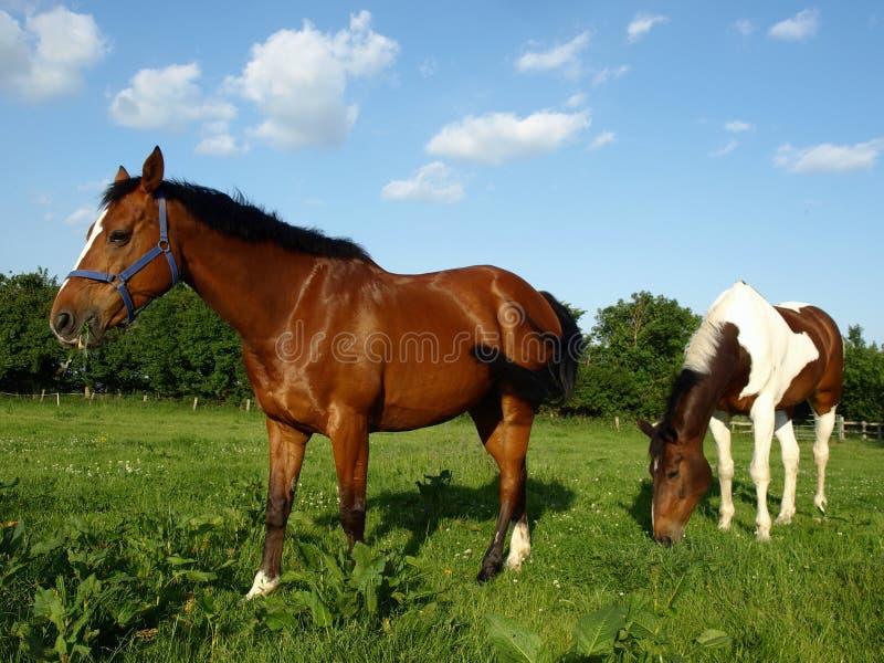 βόσκοντας άλογα στοκ εικόνες με δικαίωμα ελεύθερης χρήσης