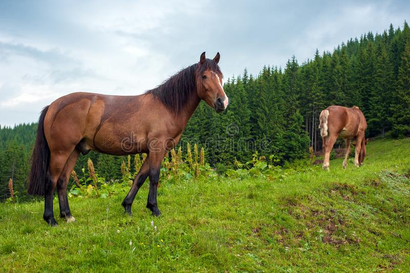 Βόσκοντας άλογο στο λιβάδι ορεινών περιοχών στα Καρπάθια βουνά μετά από τη βροχή στοκ εικόνα