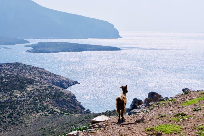 Βόσκοντας αίγες στο νησί της Λέρου, Ελλάδα, Ευρώπη στοκ φωτογραφία