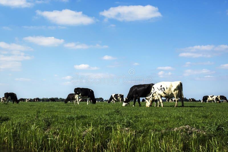 Βόσκοντας αγελάδες κάτω από έναν μπλε ουρανό στοκ εικόνα