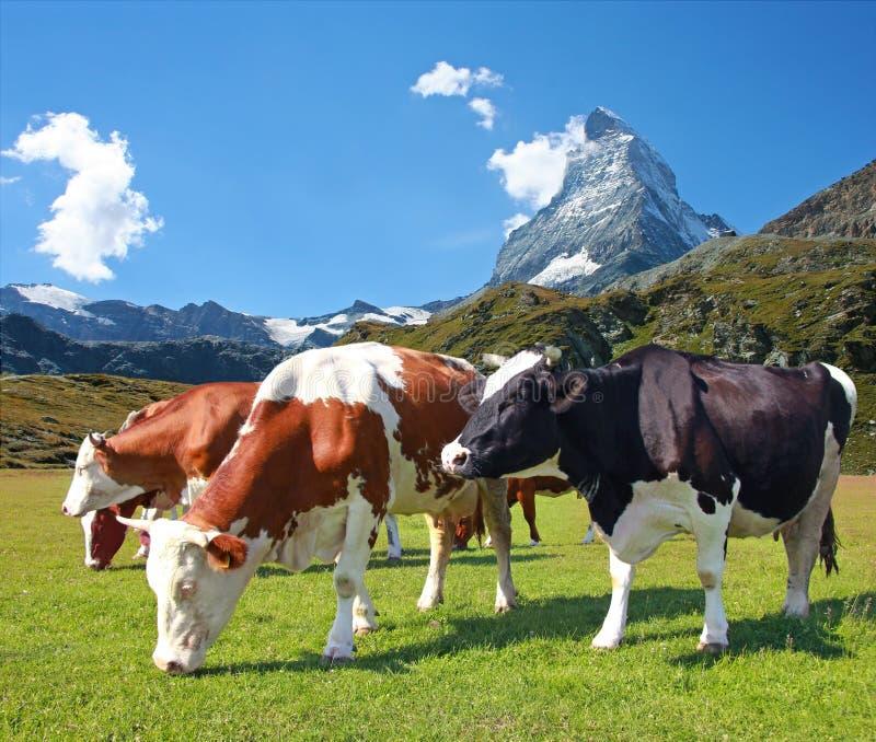 βόσκοντας λιβάδι αγελάδ& στοκ εικόνα