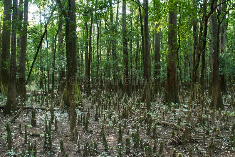 Βόστρυχος κυπαρισσιών στο εθνικό πάρκο Congaree στοκ εικόνες με δικαίωμα ελεύθερης χρήσης