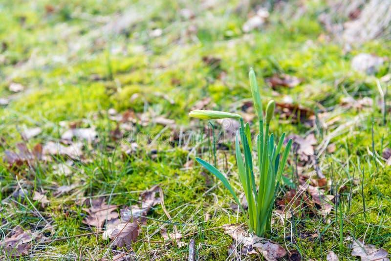 Βλαστάνοντας κίτρινα daffodils στην άγρια φύση επάνω κοντά στοκ φωτογραφίες