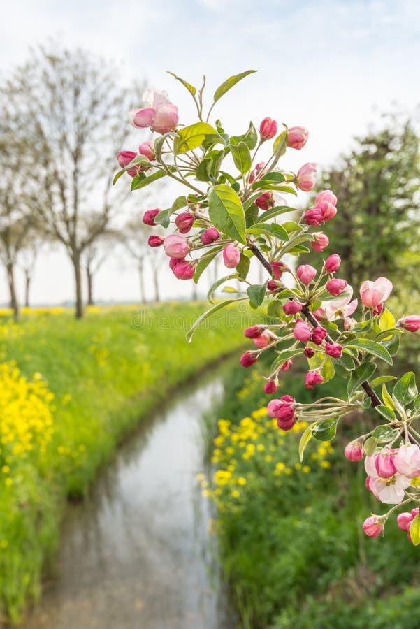 Βλαστάνοντας κλάδος ενός δέντρου μηλιάς στην άνοιξη στοκ εικόνες με δικαίωμα ελεύθερης χρήσης