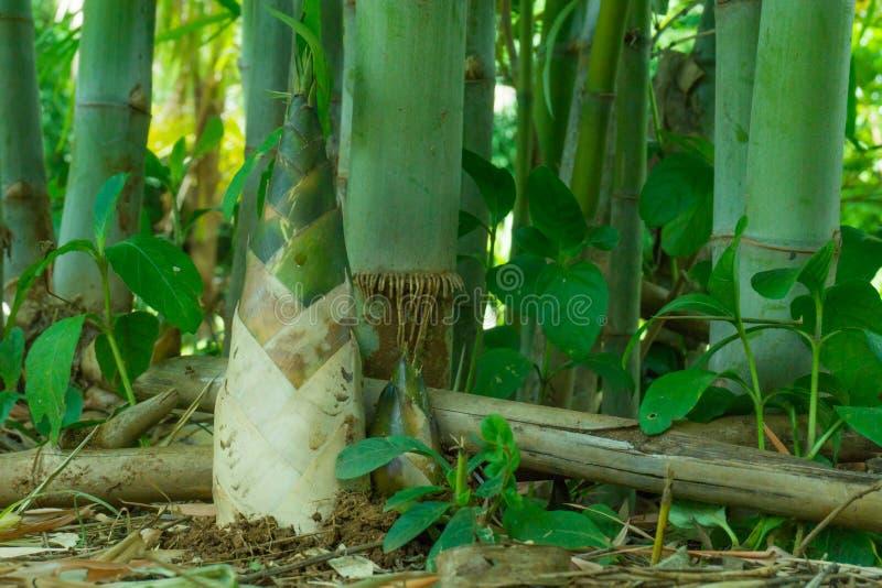Βλαστός μπαμπού, νεαρός βλαστός μπαμπού στοκ εικόνα με δικαίωμα ελεύθερης χρήσης
