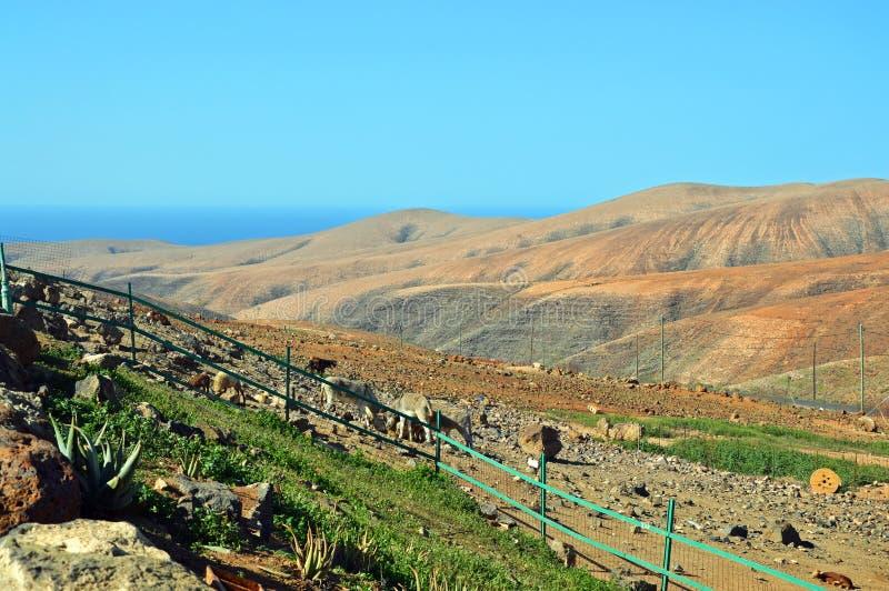 Γάιδαροι και sheeps στο αγρόκτημα στοκ εικόνα