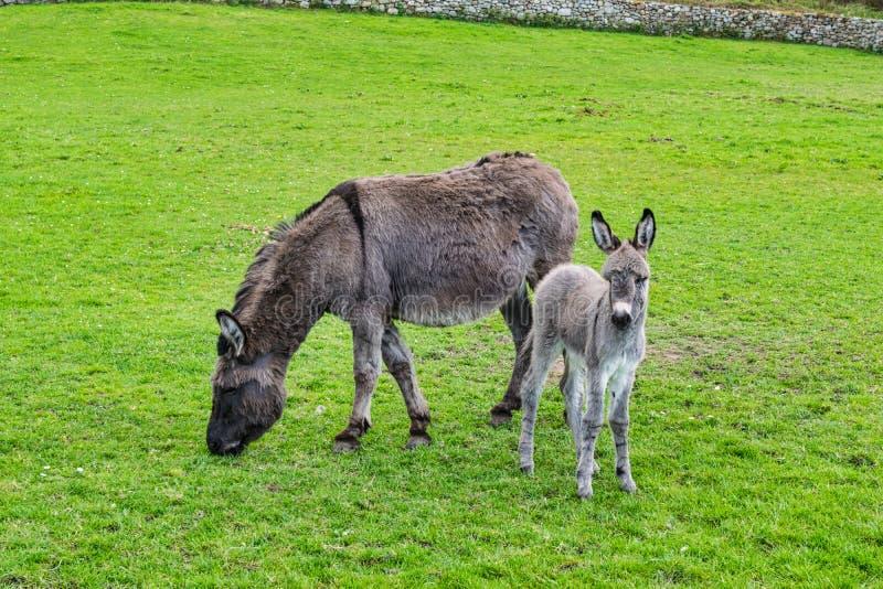 Γάιδαρος και Foal μωρών της στοκ εικόνες